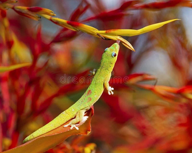 ZAP Gecko Golddust Day photos stock