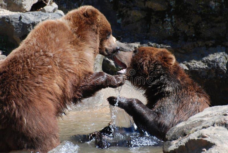 Zapaśniczy grizzly niedźwiedzie w Płytkiej rzece obraz royalty free