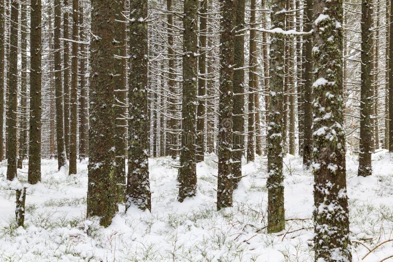 Zapfentragender dichter Wald des Winters im Schnee stockfoto