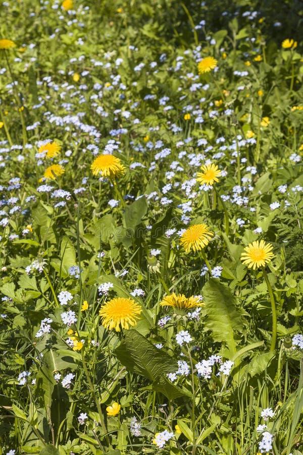 Zapomina ja nie i Dandelion kwiaty obraz royalty free