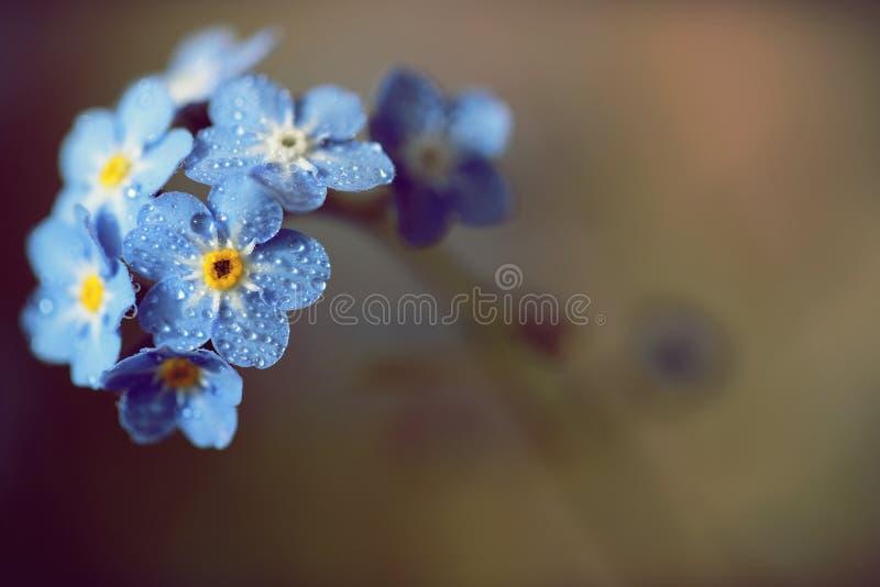 Zapomina ja nie kwiaty robić z kolorów filtrami Sof obraz stock