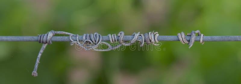 Zarcillos secos viejos de la vid en el alambre imágenes de archivo libres de regalías