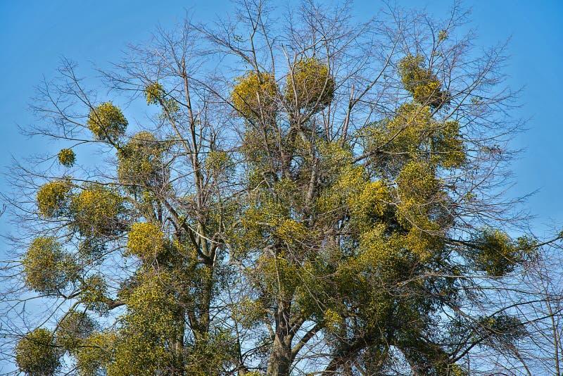 Zarobaczeni drzewa z jemiołą Drzewo atakujący pasożytniczej rośliny europejczyka jemiołą zdjęcia royalty free