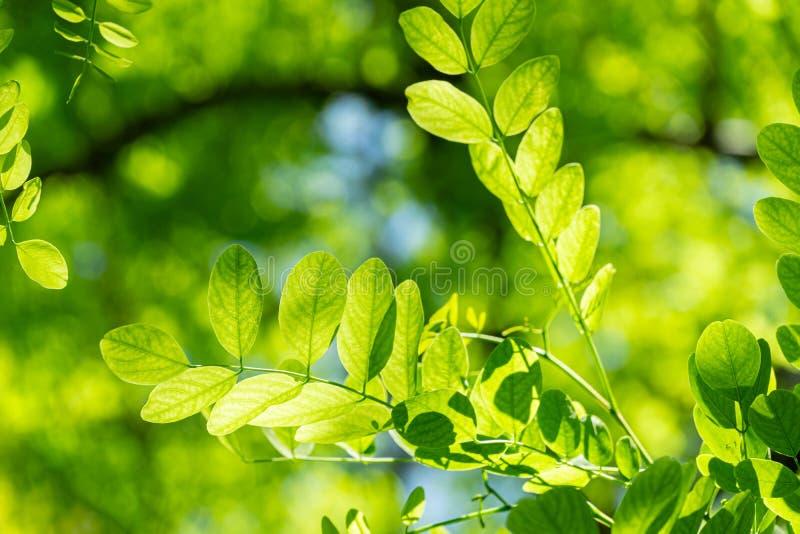 Zarte grüne junge Blätter von Robinia pseudoacacia Heimat USA, durch die falsche Akazie die Sonne durch glänzt lizenzfreies stockfoto