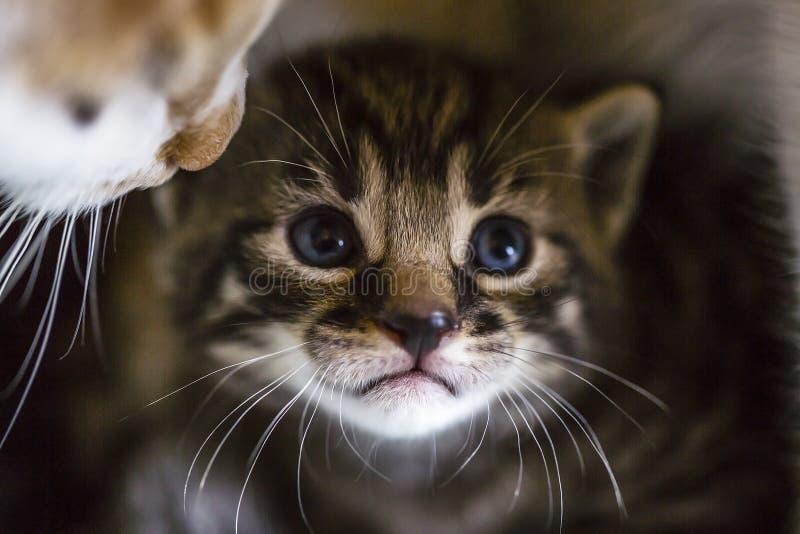 Zarte Liebe: Katzenmutter und -kätzchen Nettes kleines gestreiftes Kätzchen mit Porträt der blauen Augen Makro lizenzfreies stockfoto