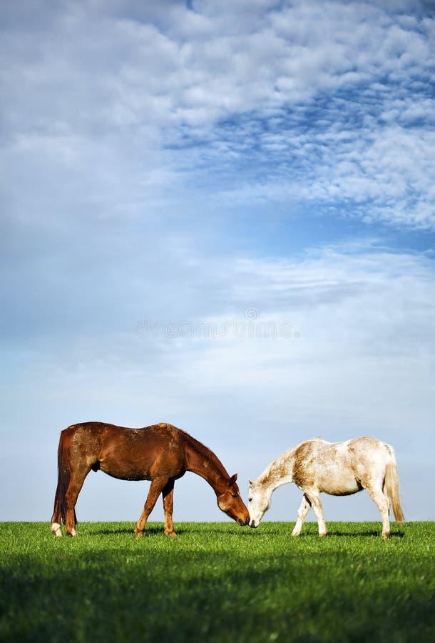 Zarte Pferde auf grüner Wiese lizenzfreie stockbilder