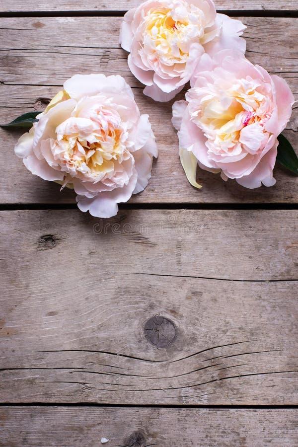 Zarte rosa Pfingstrosen blüht auf gealtertem hölzernem Hintergrund stockbild