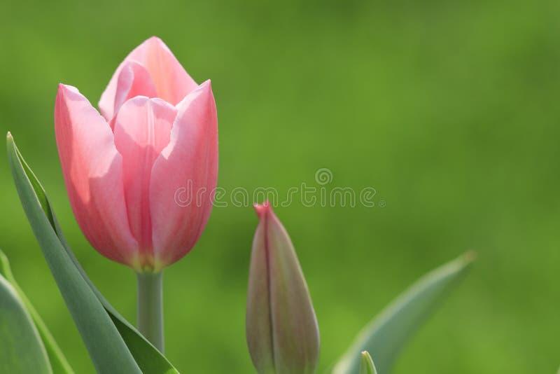Zarte rosafarbene Tulpe lizenzfreie stockfotografie