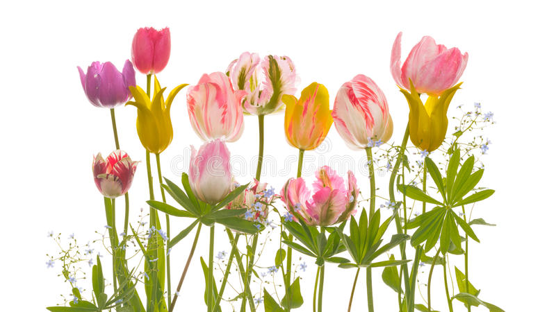 Zarte Tulpenblumen und -blätter lizenzfreie stockbilder