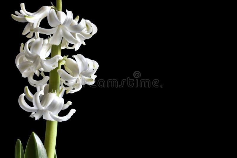 Zarte Weiße Blumen Der Hyazinthe Auf Schwarzem Hintergrund Stockbild ...