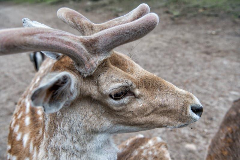 Zarte weiche H?rner wenigen Tieres Herrliche Rotwild schlie?en oben Rotwild im Naturhintergrund der nat?rlichen Umwelt Tierrechte stockbilder