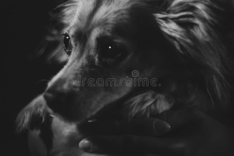 Zarter schauender Hund in Schwarzweiss stockbilder