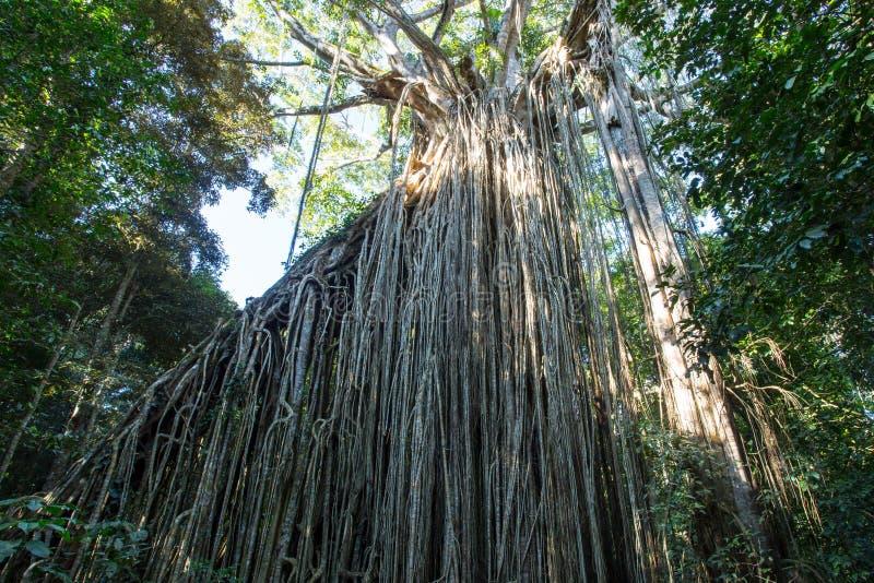 Zasłony figi drzewo obrazy royalty free