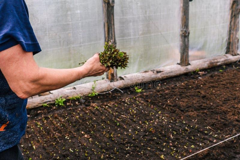 Zasadzać kwiaty i krzaki w szklarni Kobieta w jej ręce trzyma trzony rośliny i wybiera miejsce dla zasadzać zdjęcie royalty free