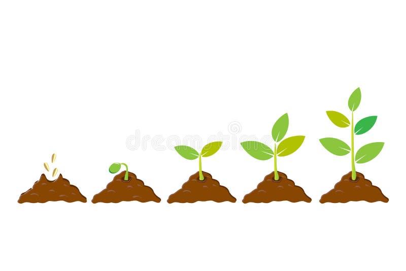 Zasadzać ziarno flancy w ziemi Infographic sekwencja r sapling Rozsadowy ogrodnictwa drzewo Ikona, mieszkanie odizolowywający na  royalty ilustracja