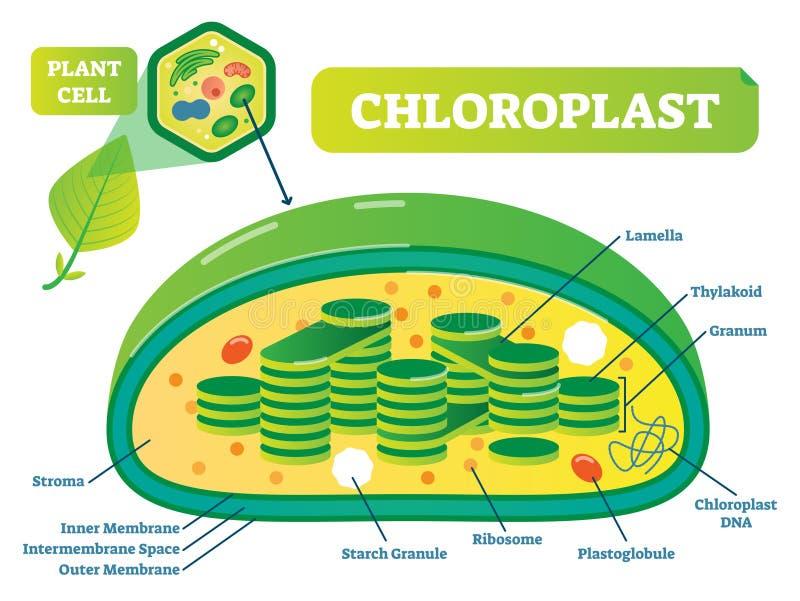 Zasadza chloroplast chemicznej biologii przekroju poprzecznego wektorowego ilustracyjnego diagram ilustracji