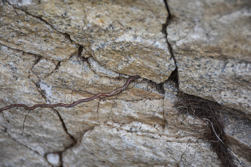 Zasadza korzeniowego dorośnięcie przez pęknięć skała zdjęcie royalty free