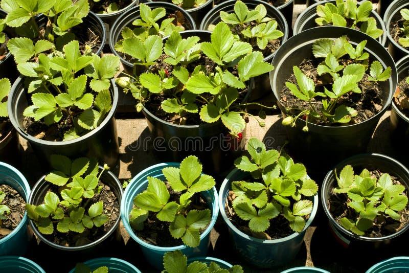 zasadza truskawki obraz stock