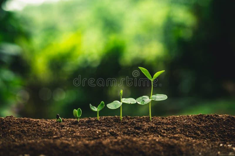 Zasadza ziarna flancowania drzew przyrosta ziarna kiełkuje na wysoka jakość ziemiach w naturze obrazy royalty free