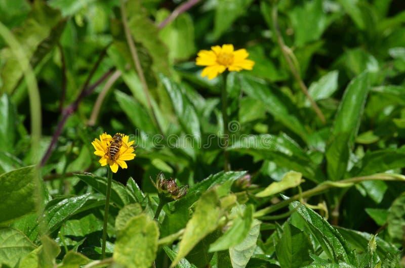 Zasięrzutny tylni widok dziki honeybee ssa nektar od żółtego wildflower w Tajlandia zdjęcie stock