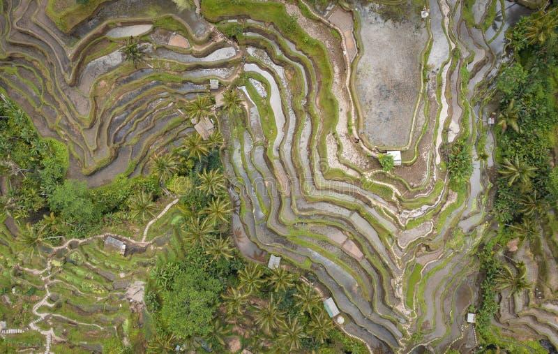 Zasięrzutny widok z lotu ptaka Tegallalang Rice taras Ubud Bali, Indonezja - abstrakcyjny t?o obraz stock