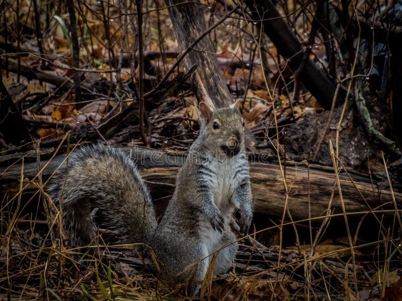 Zaskakująca Michigan Popielata wiewiórka z dokrętką obrazy royalty free