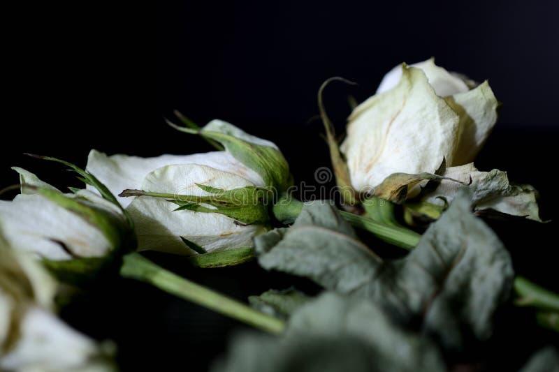 Zatarte białe róże na ciemnym tle obraz stock
