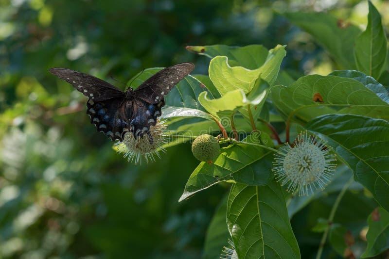 Zatarty Czarny Swallowtail motyl na Buttonbush kwiacie zdjęcie stock