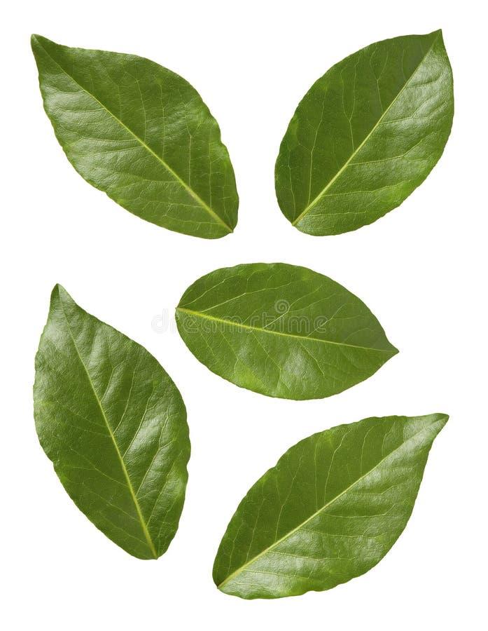 zatoka liście zdjęcie stock