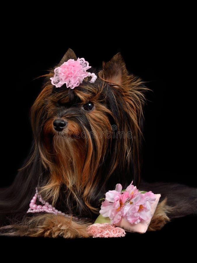 Zauber Yorkie Hund mit rosafarbenen Feldern stockfotografie