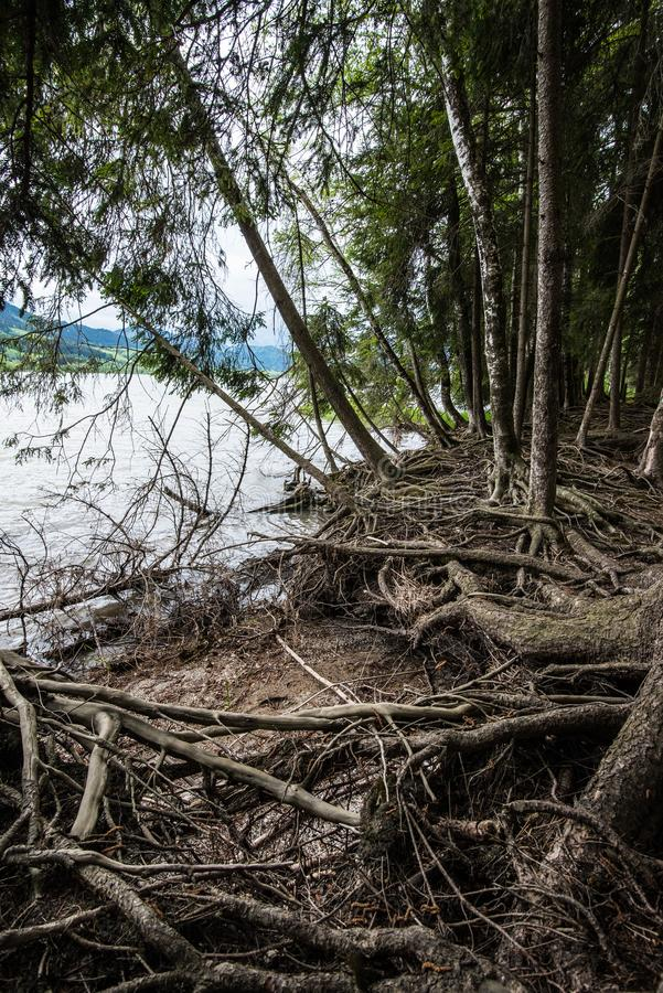 Mystery forest at lake. Mystery forest with lot of roots at lake royalty free stock images
