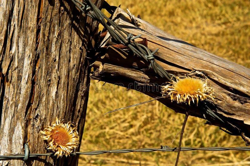 Zaun Post Barbed Wire und Trockenblumen stockbilder