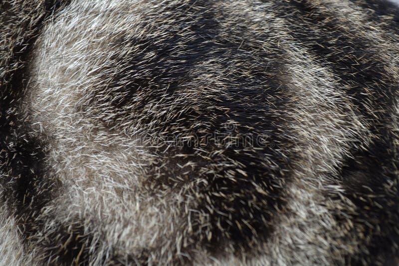 Zawijasa kota futerko - czerń & biel zdjęcia royalty free