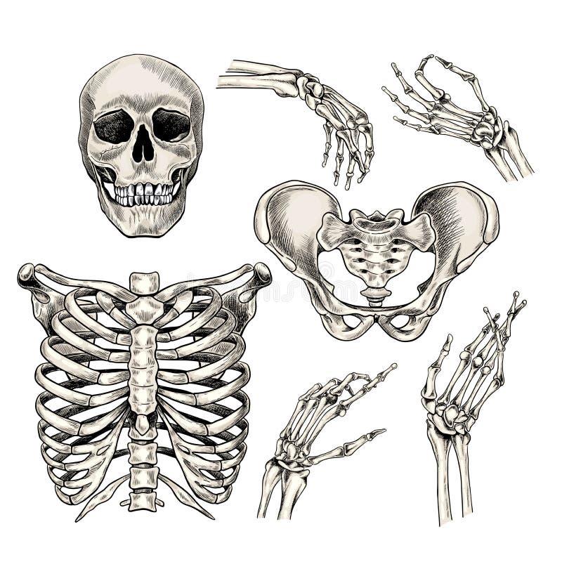 Zbiór anatomiczny wyciągany ręcznie. Wektorowe części ciała, kości. Czaszka, dłonie, klatka piersiowa lub żebra, kości m royalty ilustracja