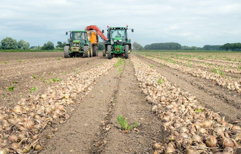 Zbierać cebule na holendera polu w lecie fotografia royalty free