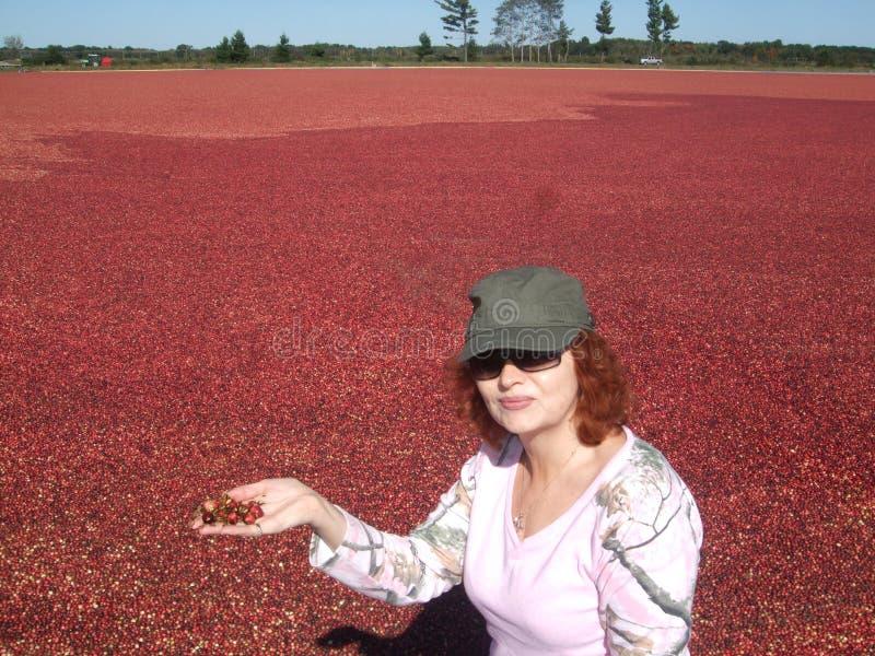 Zbierać cranberries w Wisconsin obrazy stock