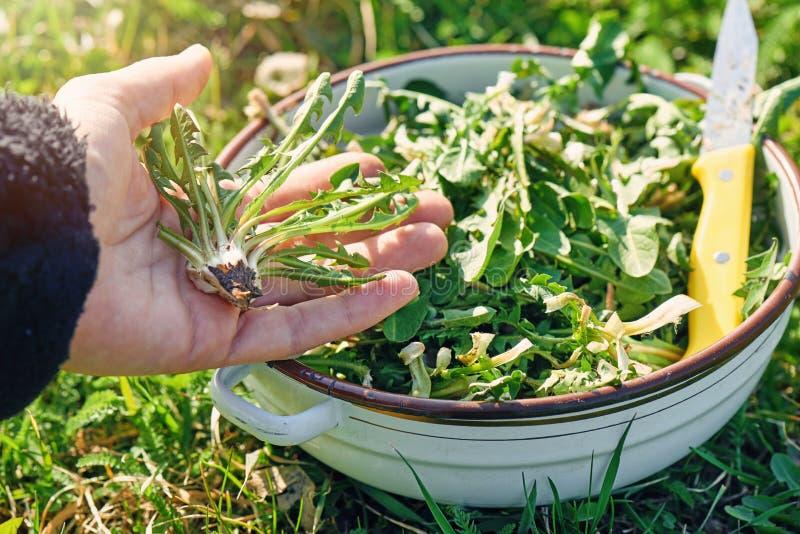 Zbierać dandelion zielenie zdjęcie royalty free