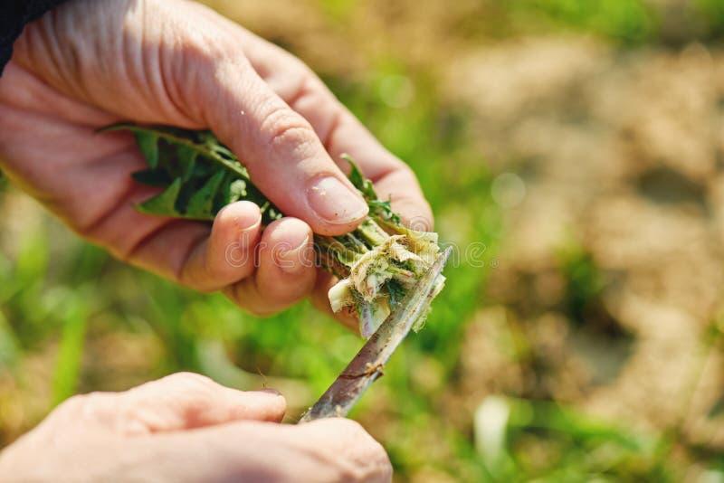 Zbierać dandelion zielenie zdjęcia stock