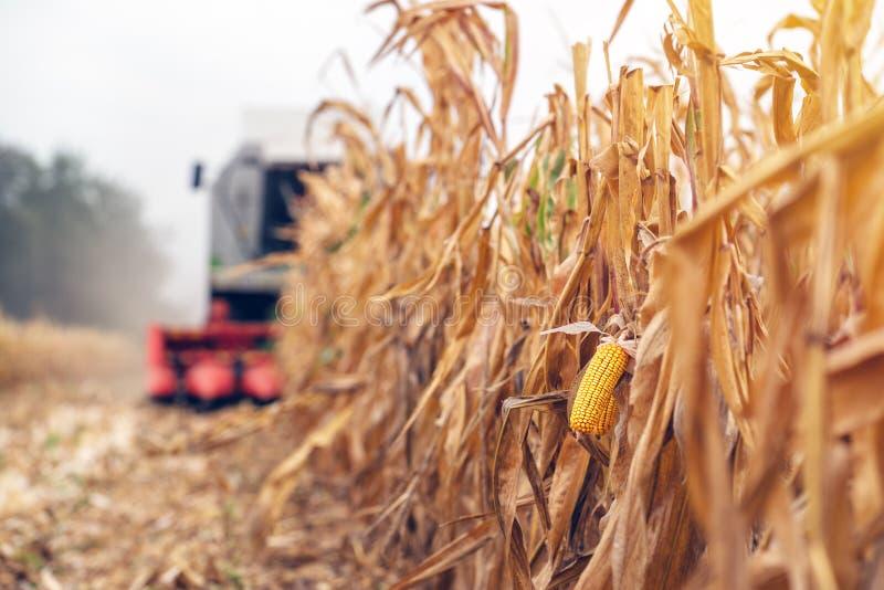 Zbierać kukurydzanego uprawy pole Syndykata żniwiarz pracuje na plantat zdjęcia royalty free