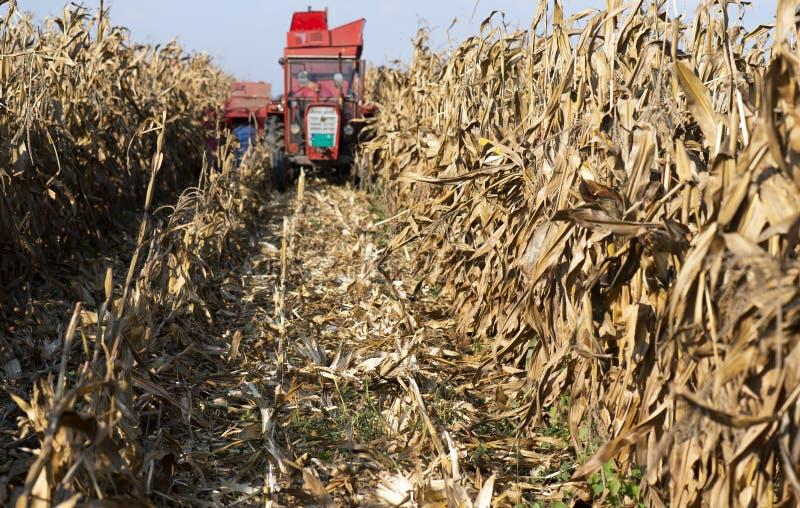 Zbierać kukurydzany pole z syndykatem w wczesnej jesieni zdjęcia royalty free