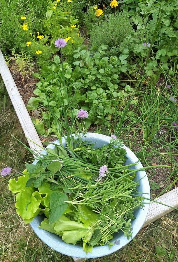 Zbierać niektóre sałaty od ogródu i ziele obraz royalty free