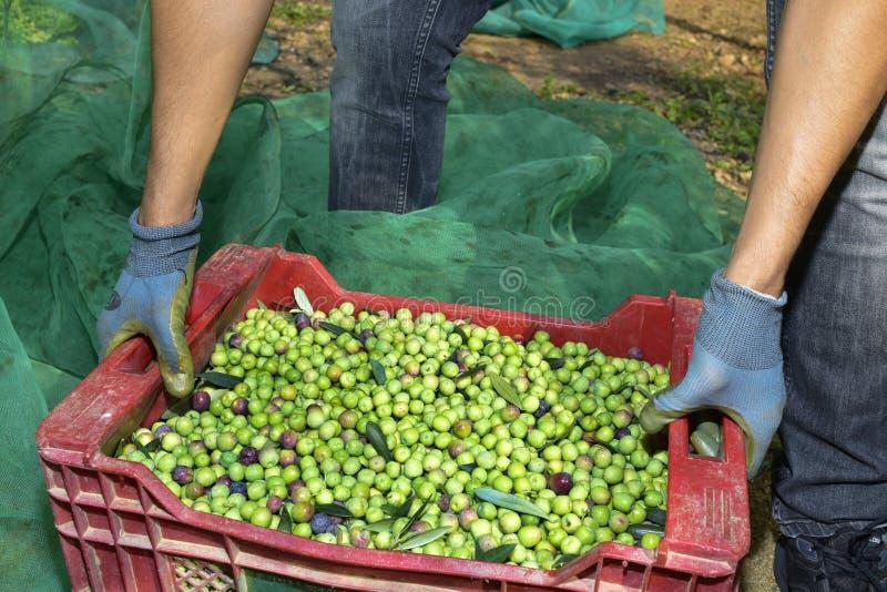 Zbierać oliwki w Hiszpania zdjęcia royalty free