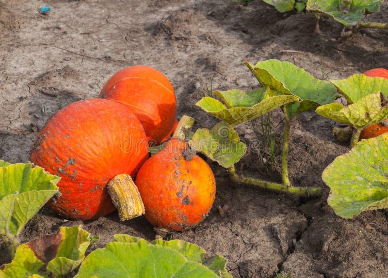 Zbierać pomarańczowe banie przygotowywać dla zrywania obrazy stock