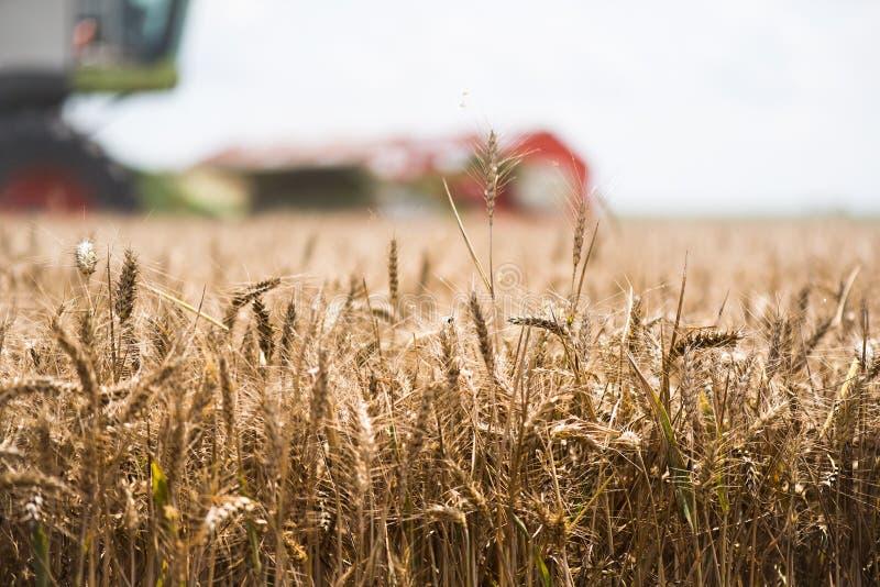 Zbierać pszeniczny pole obrazy royalty free