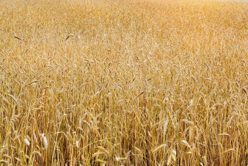 Zbierać pszenicznych ucho Pole rolniczy gospodarstwo rolne fotografia royalty free