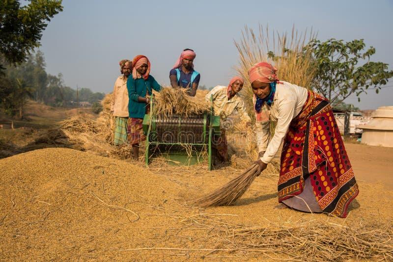 Zbierać ryż fotografia stock