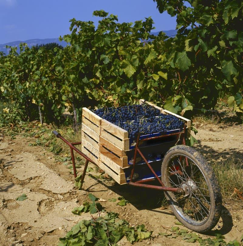 Zbierać winogrona zdjęcie royalty free