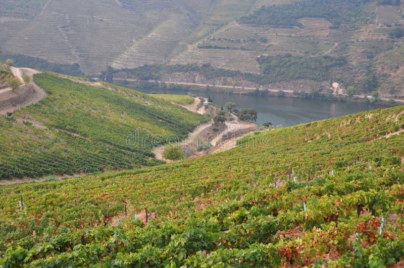 Zbiera w winniców duoro dolinie Portugal zdjęcia stock