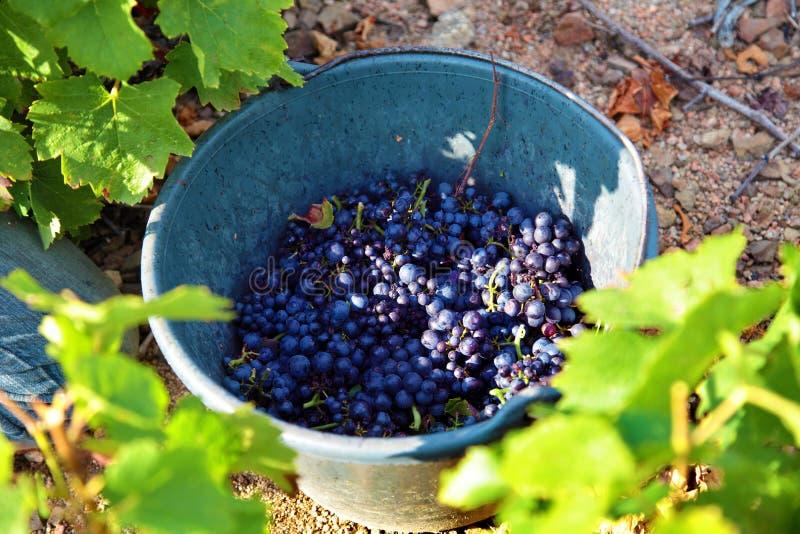Zbieraccy winogrona w wiadro dla żniwa przy winnicą obraz stock