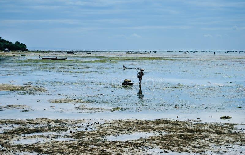 Zbieracka gałęzatka na gałęzatek plantacjach blisko plaży zdjęcia stock